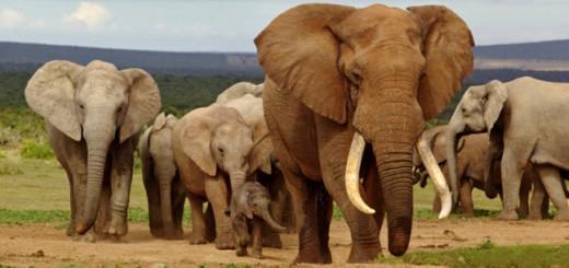 Malawi Elephants.